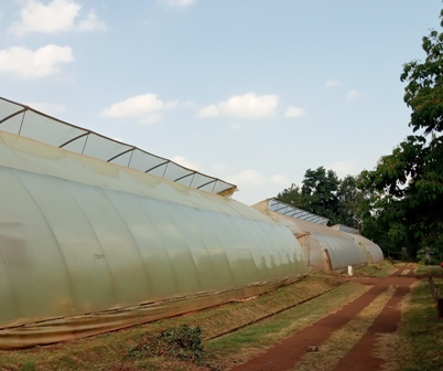 Commercial vent greenhouse